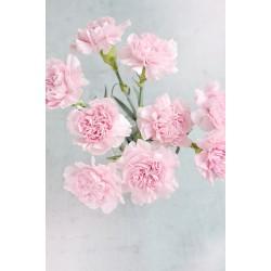 Carnation (fragrance oil)