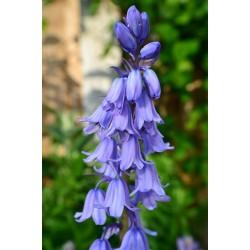 Bluebell  (fragrance oil)